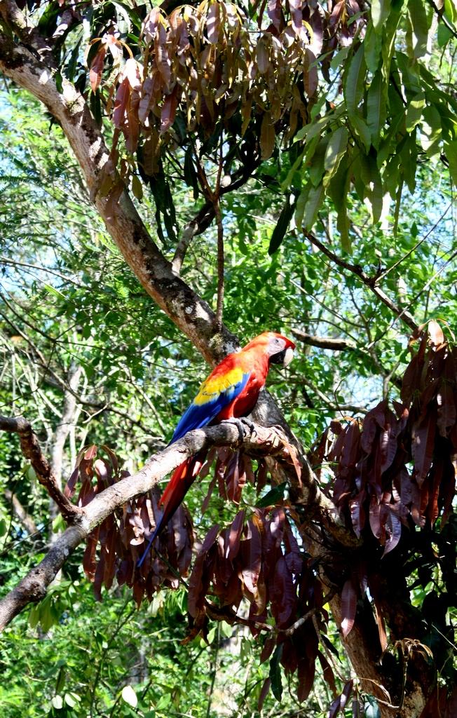 Macaw near Copan, Honduras