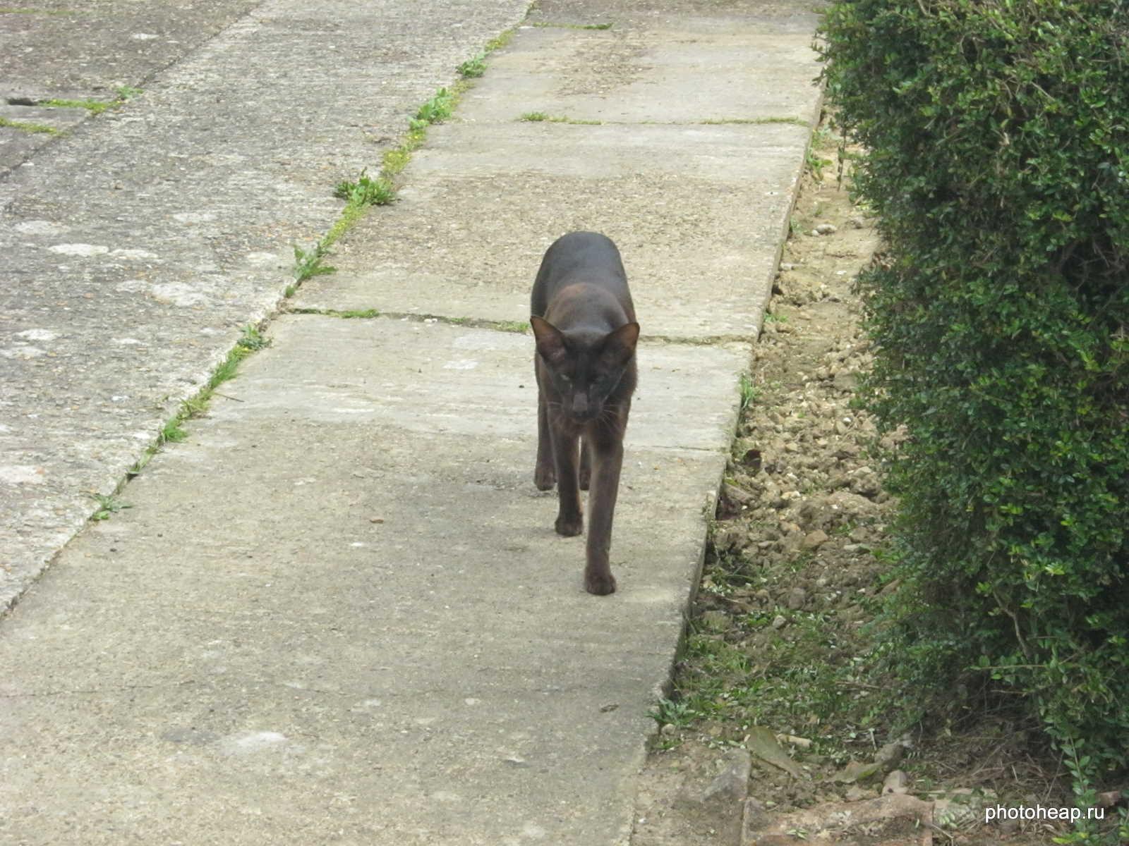 Oriental cat walking